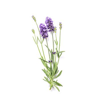 lavender-2.png